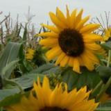 zonnebloem2.jpg